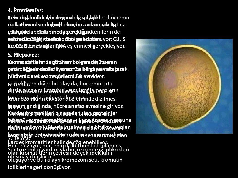 1. İnterfaz: Tüm organeller, hücre içindeki sinyal mekanizmaları doğrultusunda sayılarını iki katına çıkarıyorlar. Bölünmede gerekli proteinlerin de s