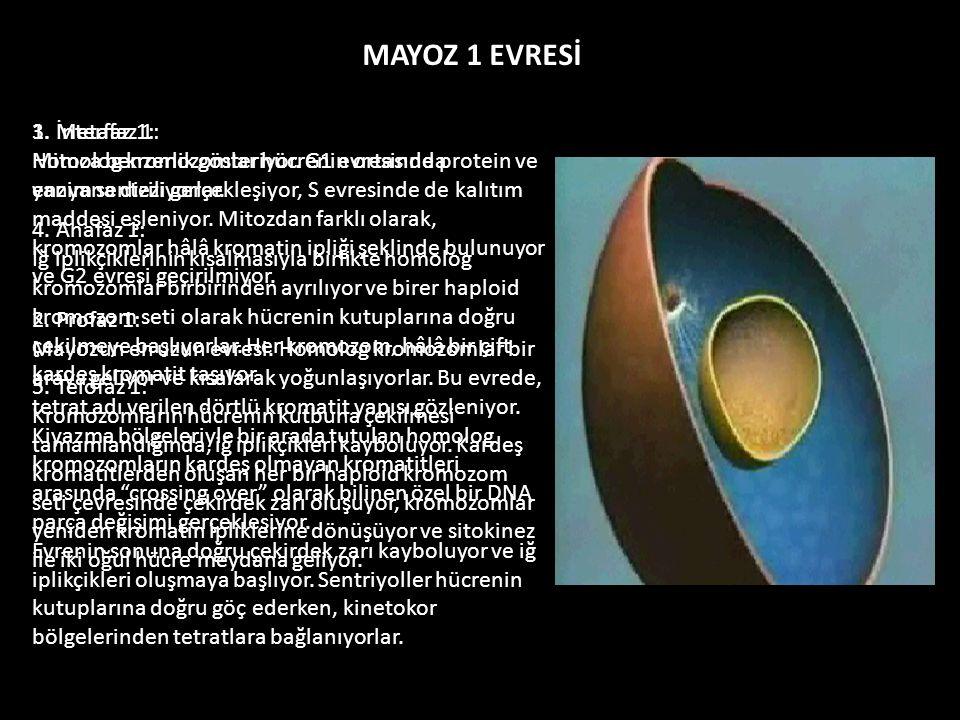 1. İnterfaz 1: Mitoza benzerlik gösteriyor. G1 evresinde protein ve enzim sentezi gerçekleşiyor, S evresinde de kalıtım maddesi eşleniyor. Mitozdan fa
