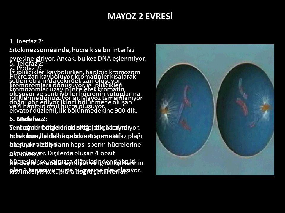 MAYOZ 2 EVRESİ 1. İnerfaz 2: Sitokinez sonrasında, hücre kısa bir interfaz evresine giriyor. Ancak, bu kez DNA eşlenmiyor. 2. Profaz 2: Hücre zarı kay