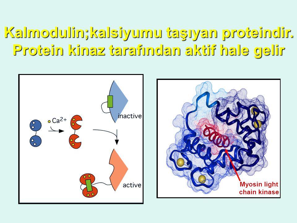 Kalmodulin;kalsiyumu taşıyan proteindir. Protein kinaz tarafından aktif hale gelir Myosin light chain kinase