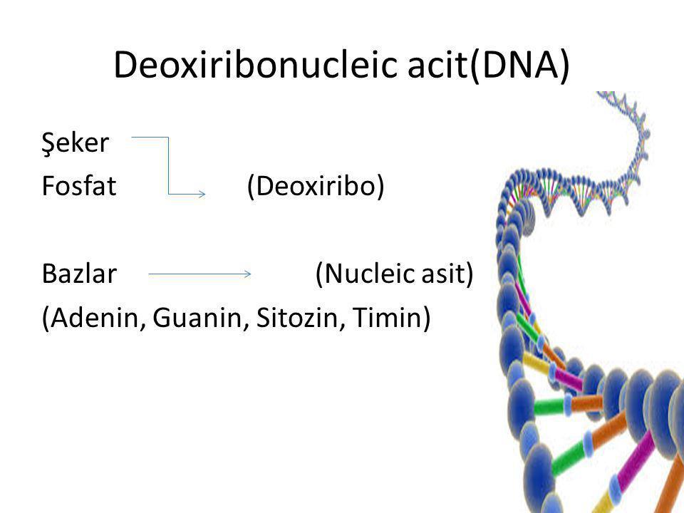 Deoxiribonucleic acit(DNA) Şeker Fosfat(Deoxiribo) Bazlar(Nucleic asit) (Adenin, Guanin, Sitozin, Timin)