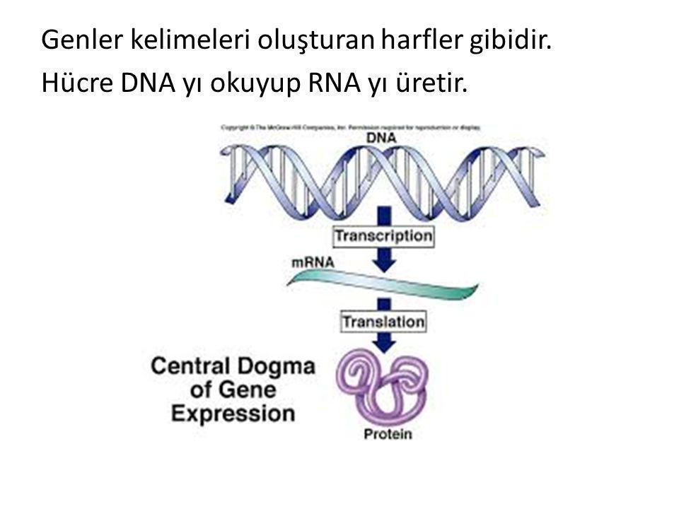 Genler kelimeleri oluşturan harfler gibidir. Hücre DNA yı okuyup RNA yı üretir.