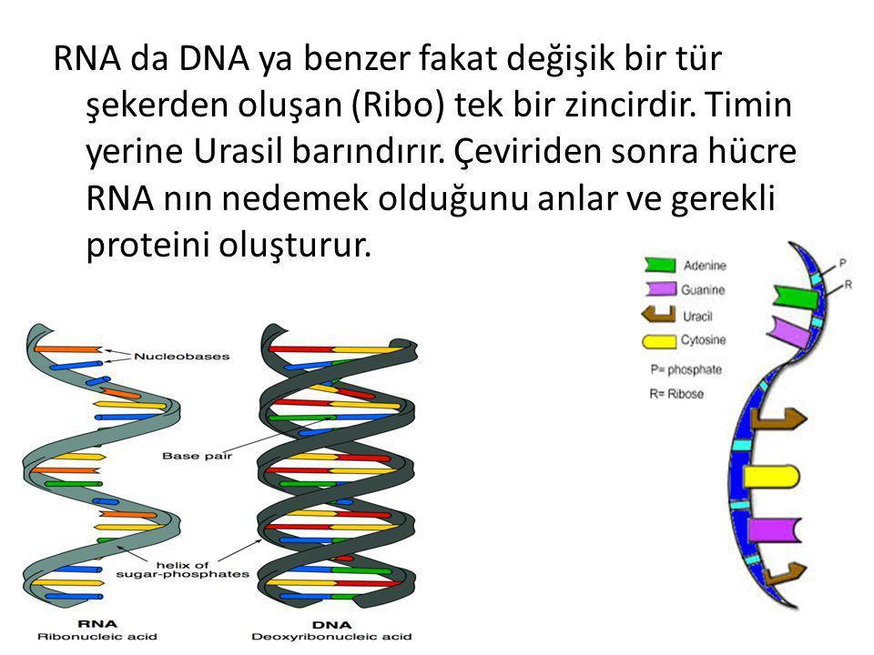 RNA da DNA ya benzer fakat değişik bir tür şekerden oluşan (Ribo) tek bir zincirdir. Timin yerine Urasil barındırır. Çeviriden sonra hücre RNA nın ned