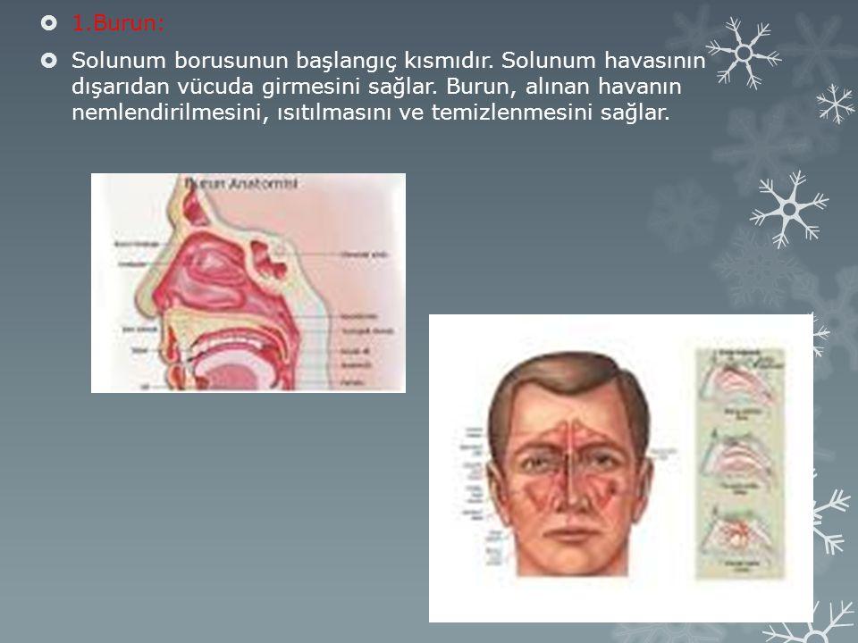  1.Burun:  Solunum borusunun başlangıç kısmıdır.