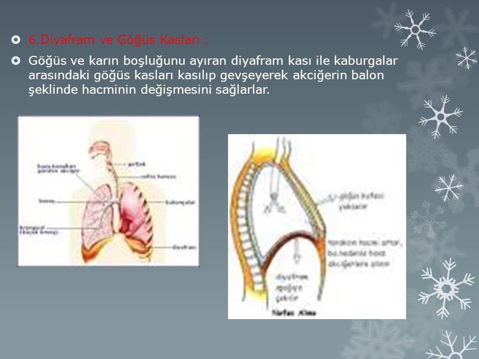  6.Diyafram ve Göğüs Kasları :  Göğüs ve karın boşluğunu ayıran diyafram kası ile kaburgalar arasındaki göğüs kasları kasılıp gevşeyerek akciğerin balon şeklinde hacminin değişmesini sağlarlar.