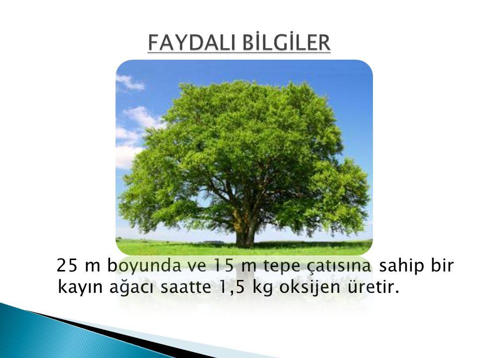25 m boyunda ve 15 m tepe çatısına sahip bir kayın ağacı saatte 1,5 kg oksijen üretir.