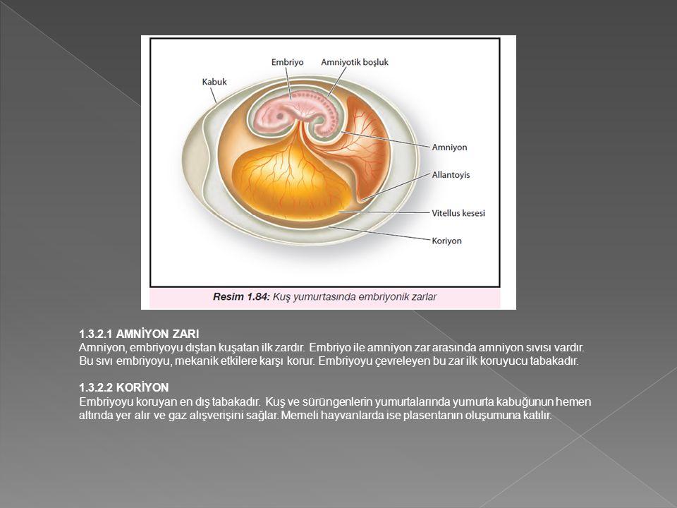 1.3.2.1 AMNİYON ZARI Amniyon, embriyoyu dıştan kuşatan ilk zardır.