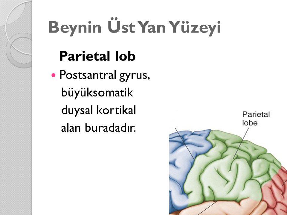 Beynin Üst Yan Yüzeyi Parietal lob Postsantral gyrus, büyüksomatik duysal kortikal alan buradadır.
