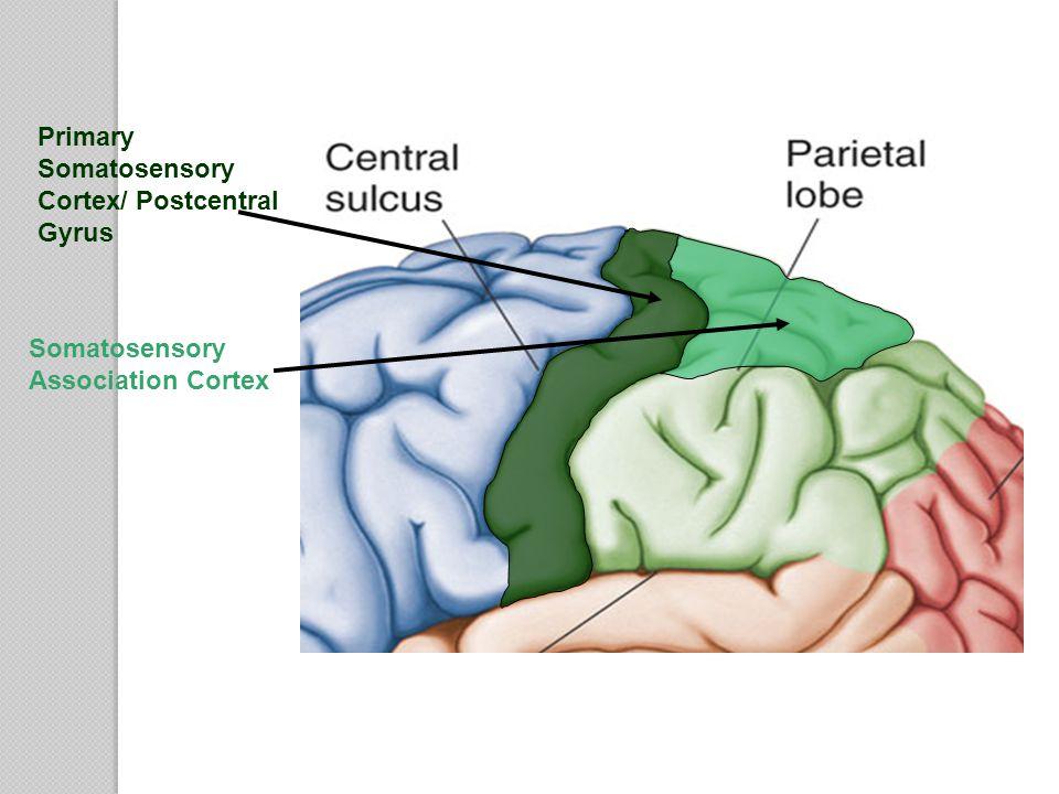 Primary Somatosensory Cortex/ Postcentral Gyrus Somatosensory Association Cortex