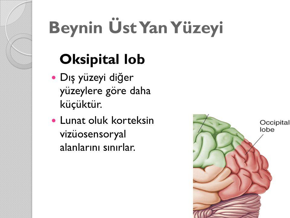 Beynin Üst Yan Yüzeyi Oksipital lob Dış yüzeyi di ğ er yüzeylere göre daha küçüktür. Lunat oluk korteksin vizüosensoryal alanlarını sınırlar.