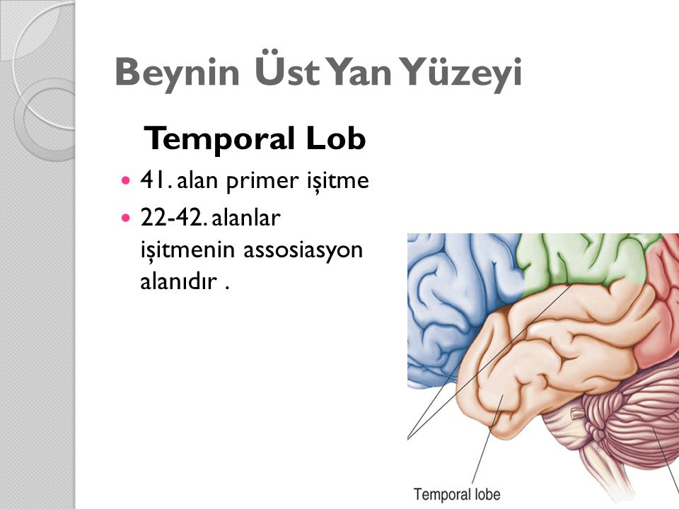 Beynin Üst Yan Yüzeyi Temporal Lob 41. alan primer işitme 22-42. alanlar işitmenin assosiasyon alanıdır.