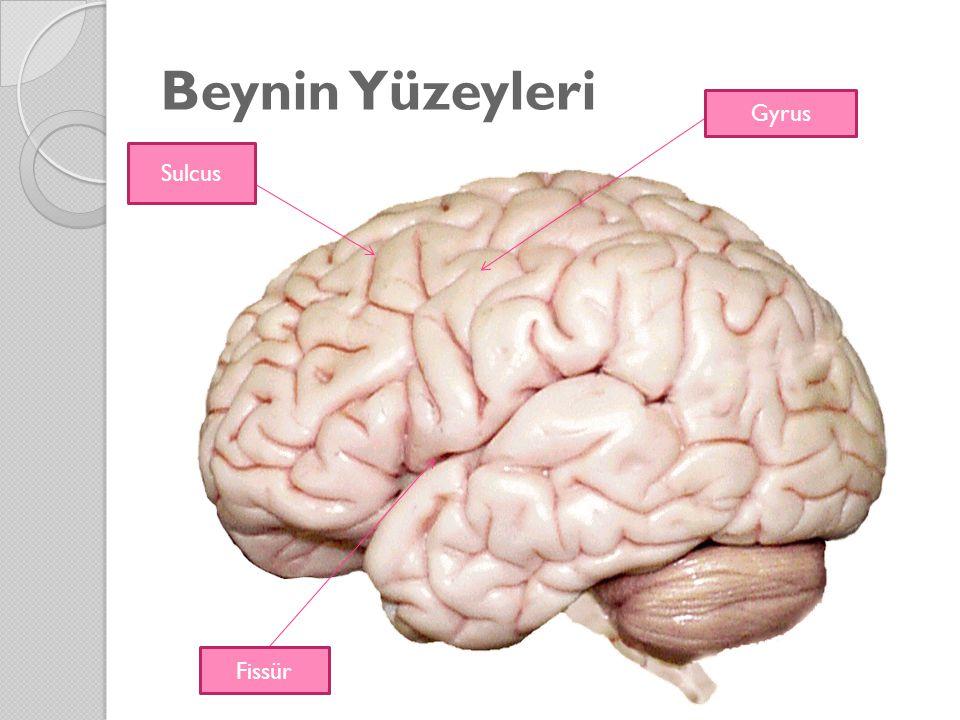 Beynin Yüzeyleri Gyrus Sulcus Fissür