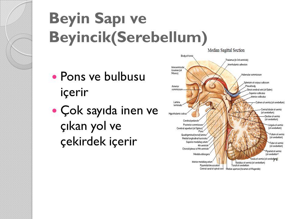 Beyin Sapı ve Beyincik(Serebellum) Pons ve bulbusu içerir Çok sayıda inen ve çıkan yol ve çekirdek içerir