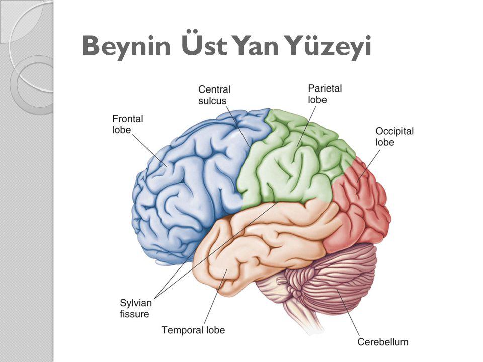 Beynin Üst Yan Yüzeyi