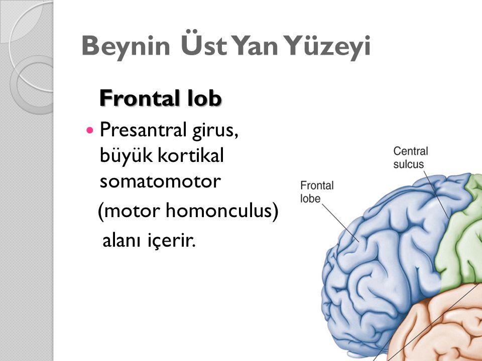 Frontal lob Frontal lob Presantral girus, büyük kortikal somatomotor (motor homonculus) alanı içerir.