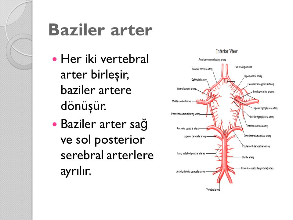 Baziler arter Her iki vertebral arter birleşir, baziler artere dönüşür. Baziler arter sa ğ ve sol posterior serebral arterlere ayrılır.
