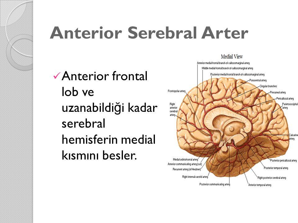 Anterior Serebral Arter Anterior frontal lob ve uzanabildi ğ i kadar serebral hemisferin medial kısmını besler.