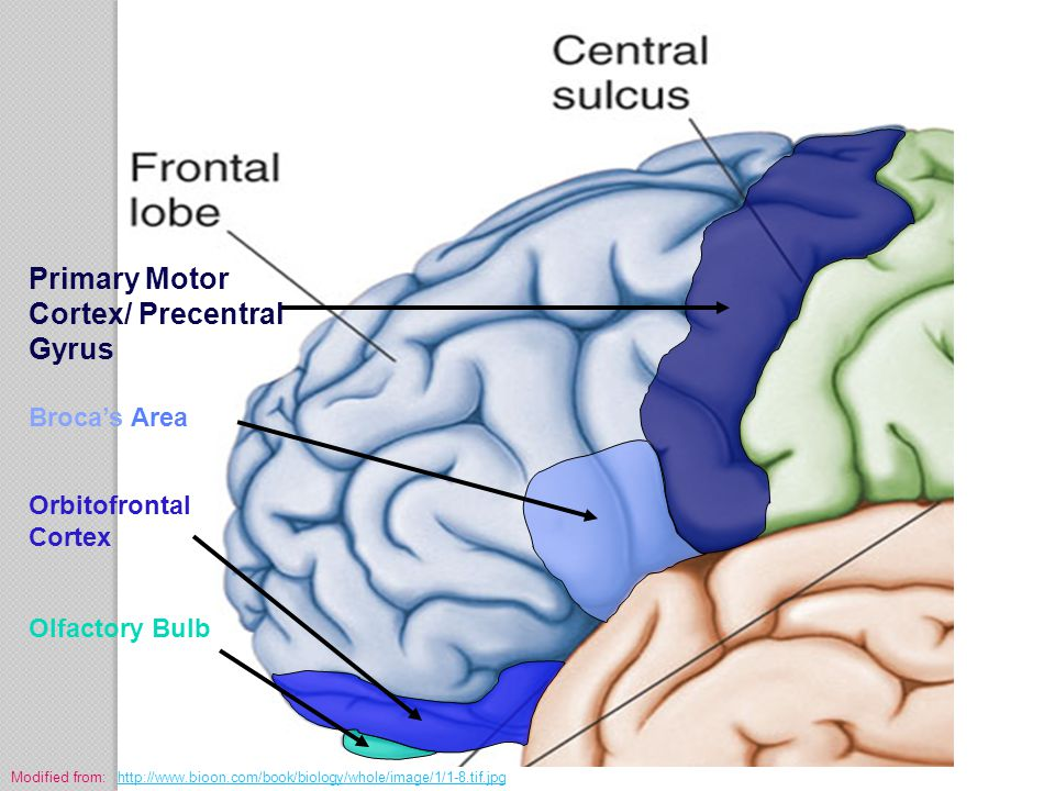 Primary Motor Cortex/ Precentral Gyrus Broca's Area Orbitofrontal Cortex Olfactory Bulb Modified from: http://www.bioon.com/book/biology/whole/image/1
