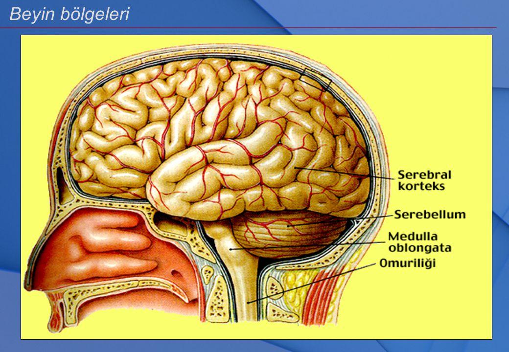 Beyin bölgeleri