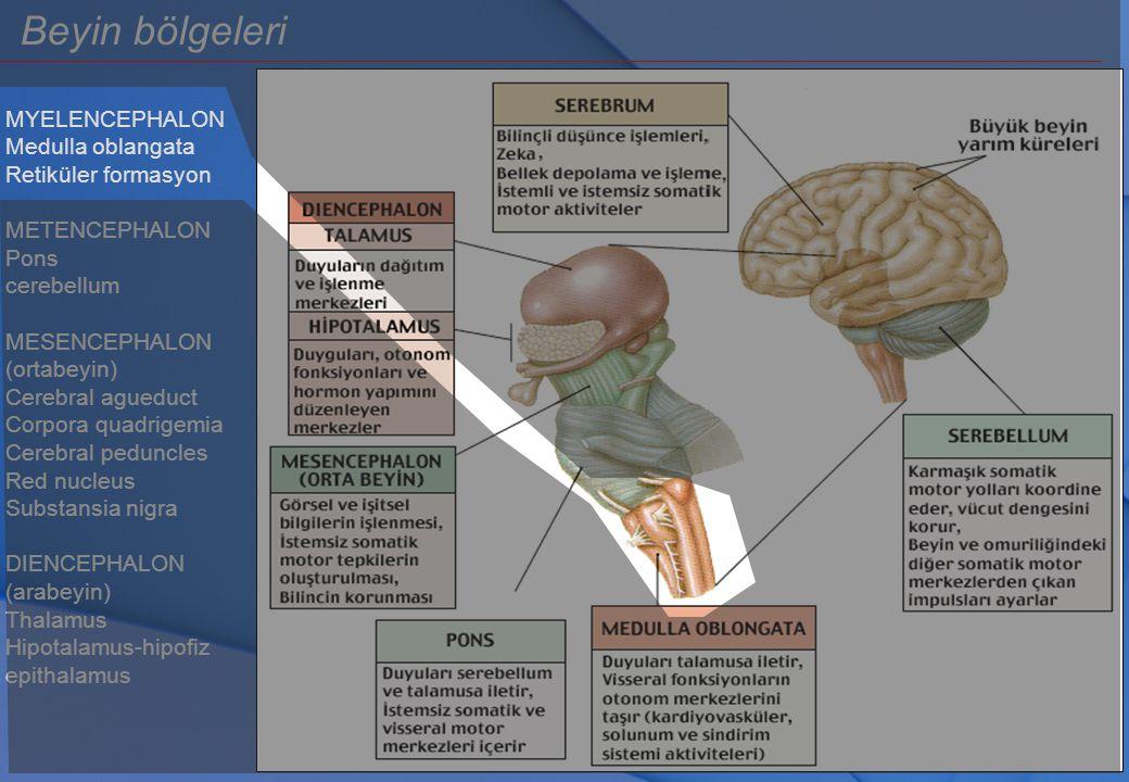 MYELENCEPHALON Medulla oblangata Retiküler formasyon METENCEPHALON Pons cerebellum MESENCEPHALON (ortabeyin) Cerebral agueduct Corpora quadrigemia Cer