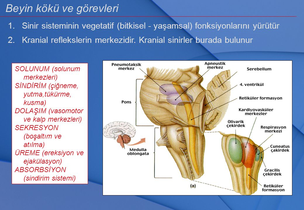 Beyin kökü ve görevleri 1. Sinir sisteminin vegetatif (bitkisel - yaşamsal) fonksiyonlarını yürütür 2. Kranial reflekslerin merkezidir. Kranial sinirl