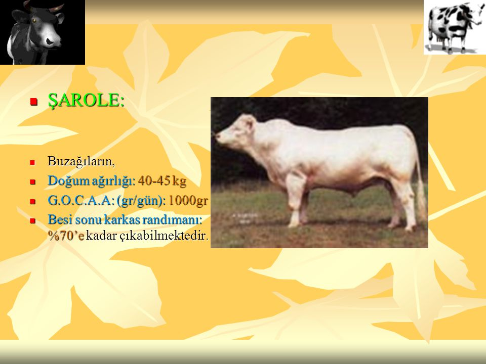 ŞAROLE: ŞAROLE: Buzağıların, Buzağıların, Doğum ağırlığı: 40-45 kg Doğum ağırlığı: 40-45 kg G.O.C.A.A: (gr/gün): 1000gr G.O.C.A.A: (gr/gün): 1000gr Be