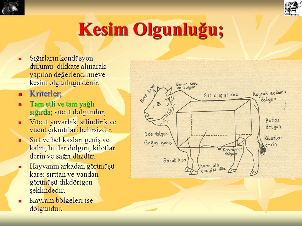 Kesim Olgunluğu; Sığırların kondüsyon durumu dikkate alınarak yapılan değerlendirmeye kesim olgunluğu denir. Sığırların kondüsyon durumu dikkate alına