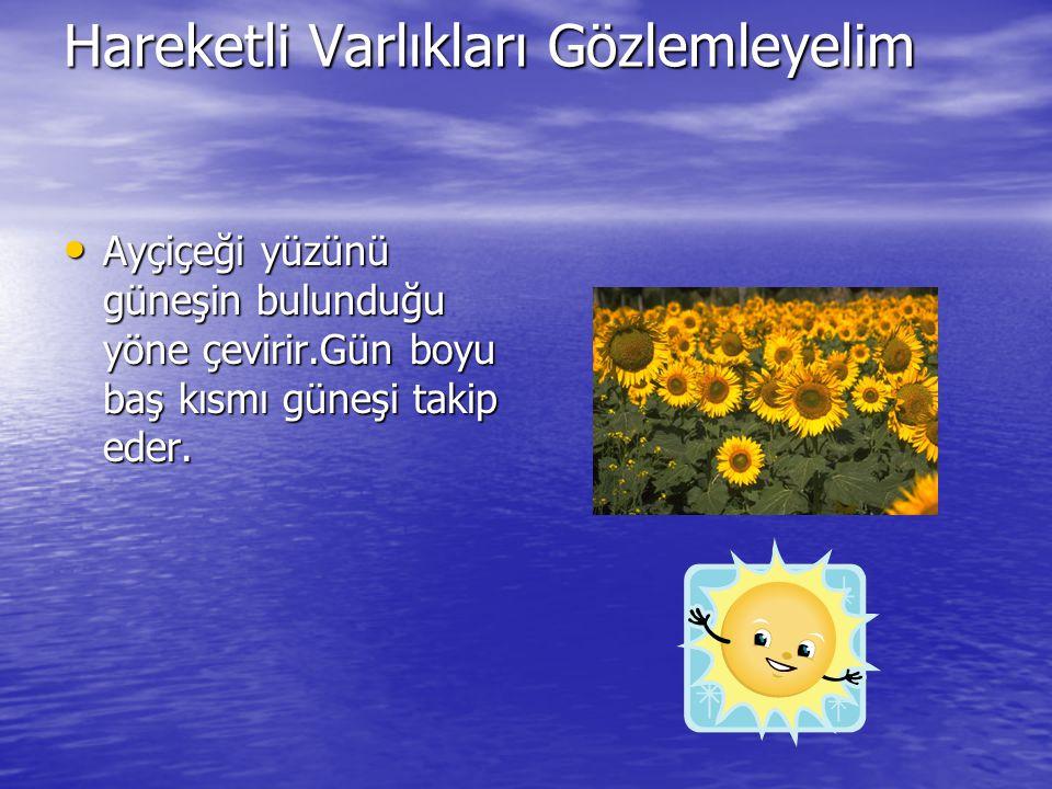 Hareketli Varlıkları Gözlemleyelim Ayçiçeği yüzünü güneşin bulunduğu yöne çevirir.Gün boyu baş kısmı güneşi takip eder. Ayçiçeği yüzünü güneşin bulund