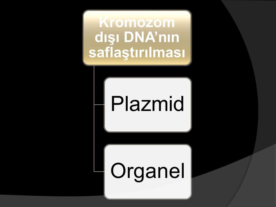 Kromozom dışı DNA'nın saflaştırılması PlazmidOrganel