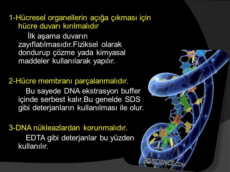 1-Hücresel organellerin açığa çıkması için hücre duvarı kırılmalıdır İlk aşama duvarın zayıflatılmasıdır.Fiziksel olarak dondurup çözme yada kimyasal
