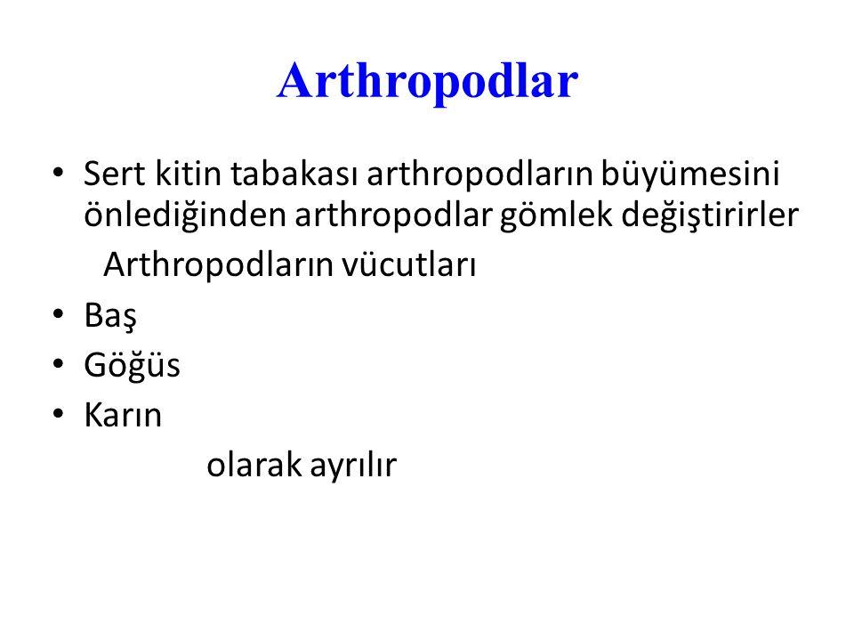 Arthropodlar Sert kitin tabakası arthropodların büyümesini önlediğinden arthropodlar gömlek değiştirirler Arthropodların vücutları Baş Göğüs Karın ola
