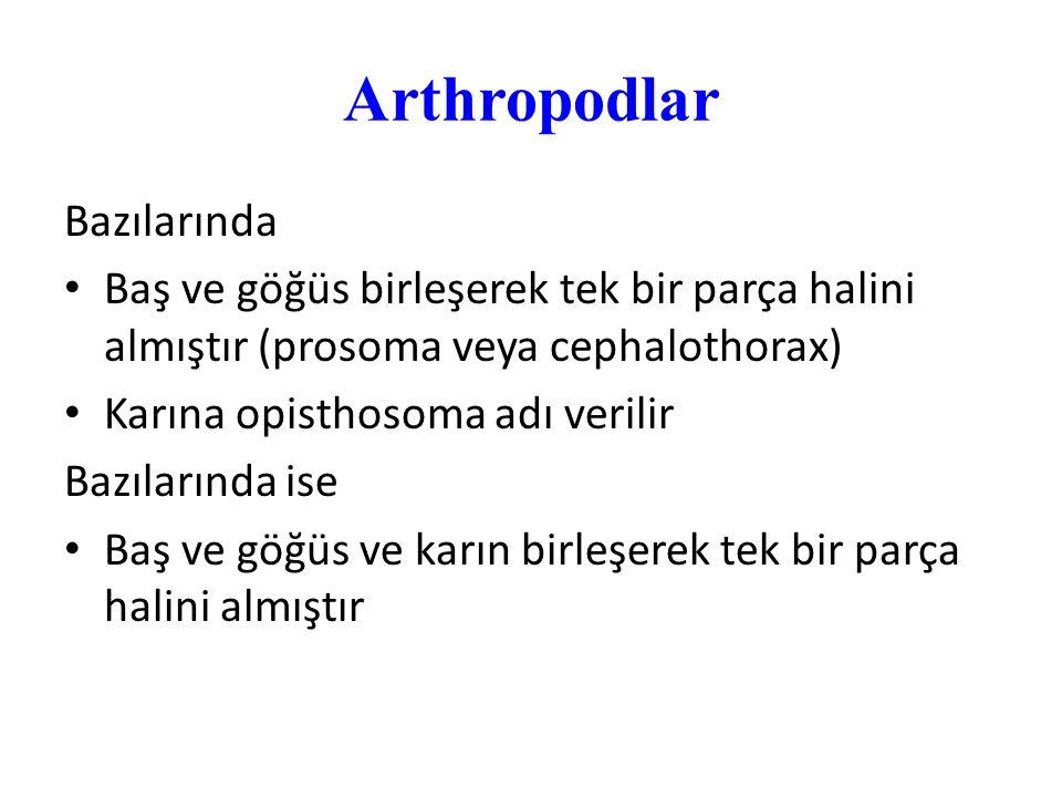 Arthropodlar Bazılarında Baş ve göğüs birleşerek tek bir parça halini almıştır (prosoma veya cephalothorax) Karına opisthosoma adı verilir Bazılarında
