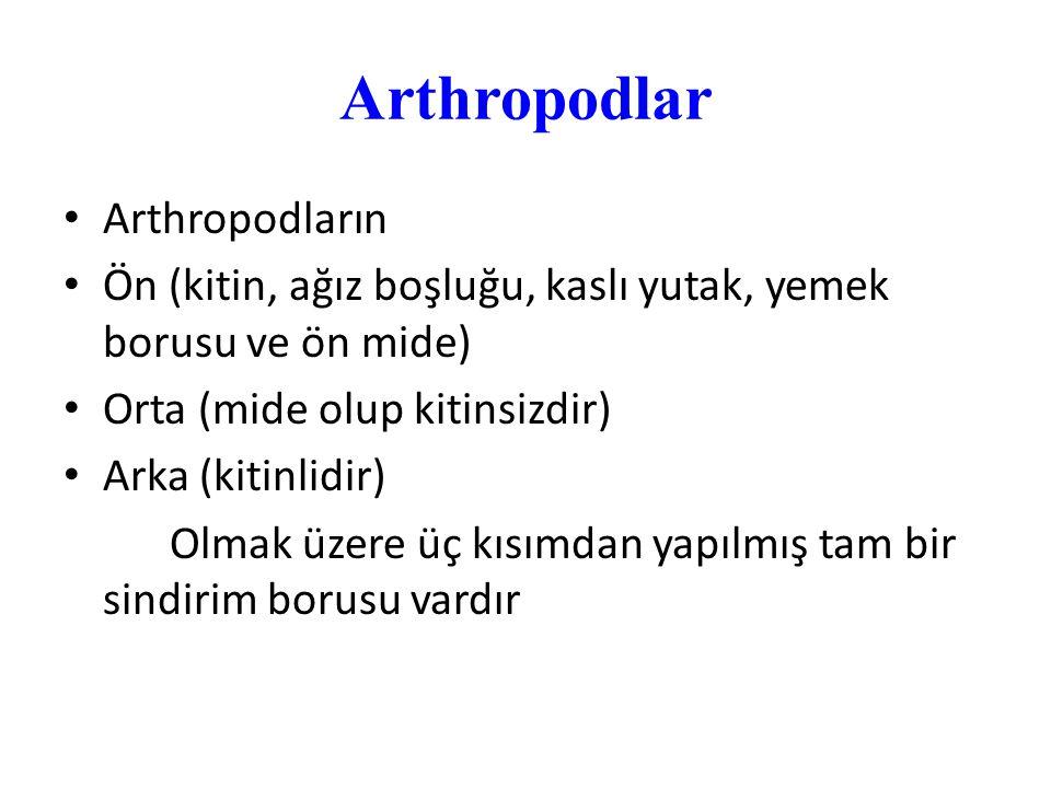 Arthropodlar Arthropodların Ön (kitin, ağız boşluğu, kaslı yutak, yemek borusu ve ön mide) Orta (mide olup kitinsizdir) Arka (kitinlidir) Olmak üzere