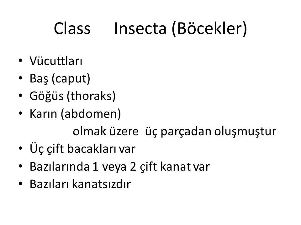 ClassInsecta (Böcekler) Vücuttları Baş (caput) Göğüs (thoraks) Karın (abdomen) olmak üzere üç parçadan oluşmuştur Üç çift bacakları var Bazılarında 1