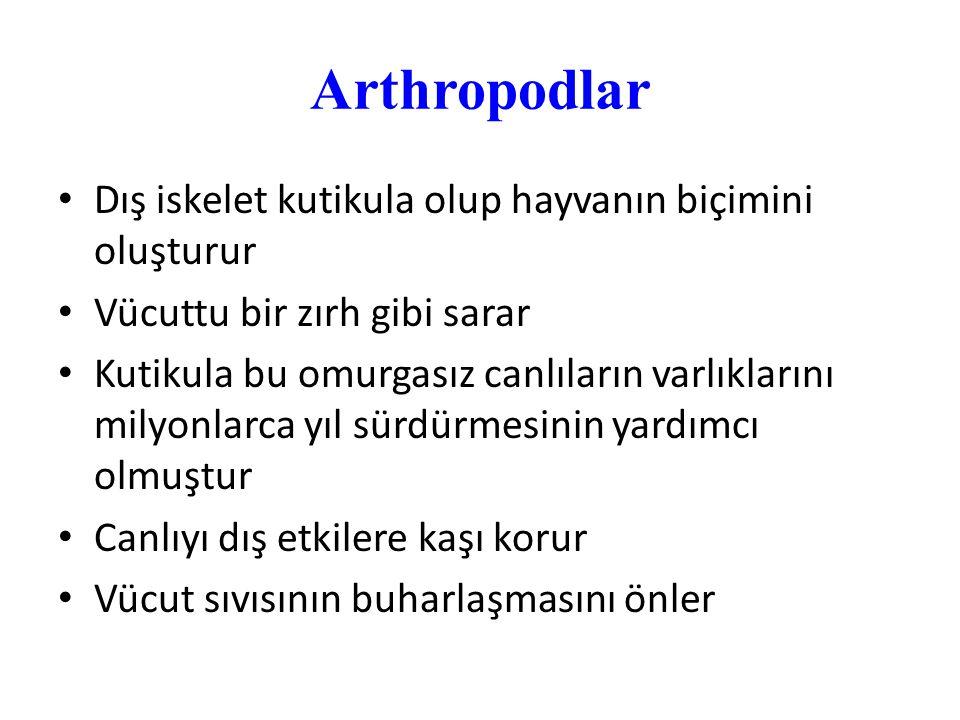 Arthropodlar Dış iskelet kutikula olup hayvanın biçimini oluşturur Vücuttu bir zırh gibi sarar Kutikula bu omurgasız canlıların varlıklarını milyonlar