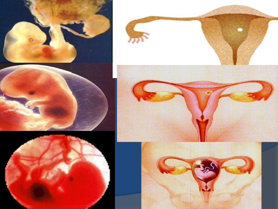 Spermlerin yarısı erkek yarısı dişidir (X ve Y kromozomları) Erkek sperm sadece dişi olan yumurtayı döllerse çocuğun CİNSİYETİ KIZ Dişi sperm yumurtayı döllerse çocuğun CİNSİYETİ ERKEK olacaktır.