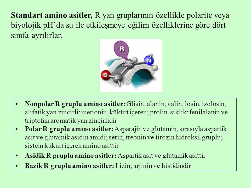  -amino asitler Ornitin Sitrülin Arjinino süksinik asit Homosistein Homoserin Sistein sülfinik asit Dihidroksifenilalanin (DOPA) 5-Hidroksi triptofan Amino grubu  -karbonda olmayan amino asitler  -alanin  -aminobutirik asit (GABA) Taurin  -aminoizobutirik asit Proteinlerin yapısında bulunmayan amino asitler