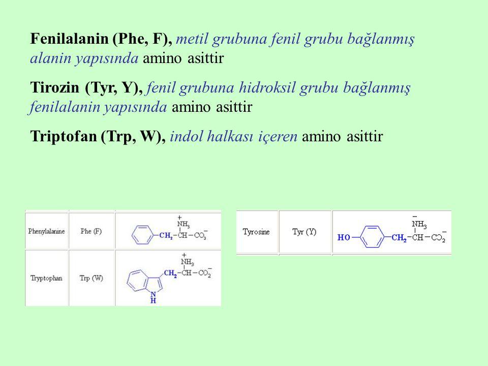 Fenilalanin (Phe, F), metil grubuna fenil grubu bağlanmış alanin yapısında amino asittir Tirozin (Tyr, Y), fenil grubuna hidroksil grubu bağlanmış fenilalanin yapısında amino asittir Triptofan (Trp, W), indol halkası içeren amino asittir