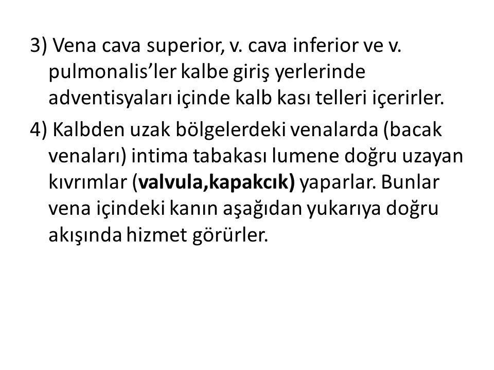 3) Vena cava superior, v. cava inferior ve v. pulmonalis'ler kalbe giriş yerlerinde adventisyaları içinde kalb kası telleri içerirler. 4) Kalbden uzak