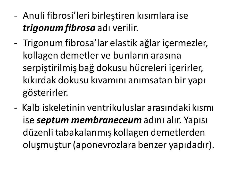 -Anuli fibrosi'leri birleştiren kısımlara ise trigonum fibrosa adı verilir. -Trigonum fibrosa'lar elastik ağlar içermezler, kollagen demetler ve bunla