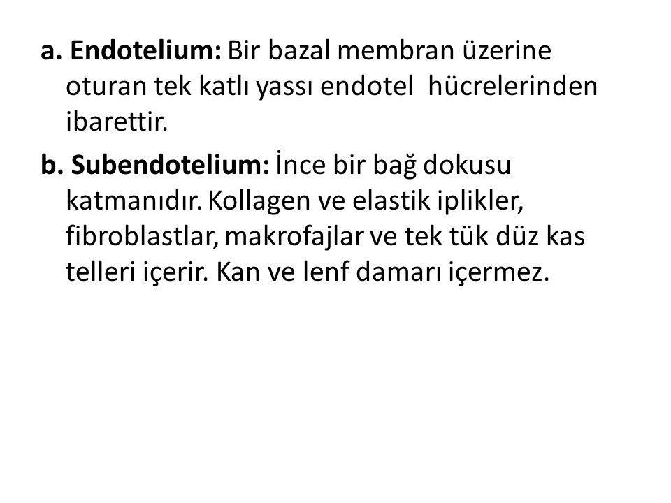 a. Endotelium: Bir bazal membran üzerine oturan tek katlı yassı endotel hücrelerinden ibarettir. b. Subendotelium: İnce bir bağ dokusu katmanıdır. Kol