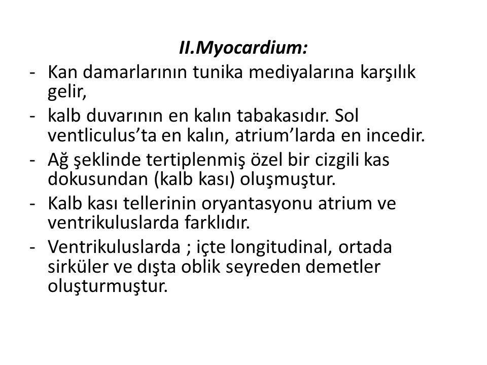 II.Myocardium: -Kan damarlarının tunika mediyalarına karşılık gelir, -kalb duvarının en kalın tabakasıdır. Sol ventliculus'ta en kalın, atrium'larda e