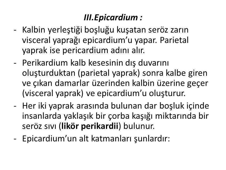 III.Epicardium : -Kalbin yerleştiği boşluğu kuşatan seröz zarın visceral yaprağı epicardium'u yapar. Parietal yaprak ise pericardium adını alır. -Peri