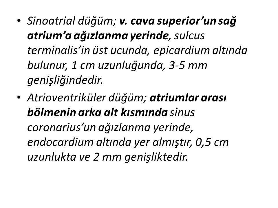 Sinoatrial düğüm; v. cava superior'un sağ atrium'a ağızlanma yerinde, sulcus terminalis'in üst ucunda, epicardium altında bulunur, 1 cm uzunluğunda, 3