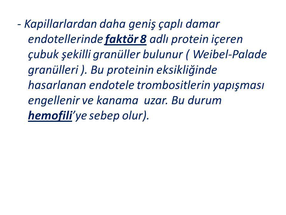 - Kapillarlardan daha geniş çaplı damar endotellerinde faktör 8 adlı protein içeren çubuk şekilli granüller bulunur ( Weibel-Palade granülleri ). Bu p