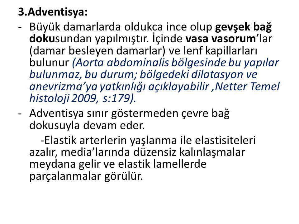 3.Adventisya: -Büyük damarlarda oldukca ince olup gevşek bağ dokusundan yapılmıştır. İçinde vasa vasorum'lar (damar besleyen damarlar) ve lenf kapilla