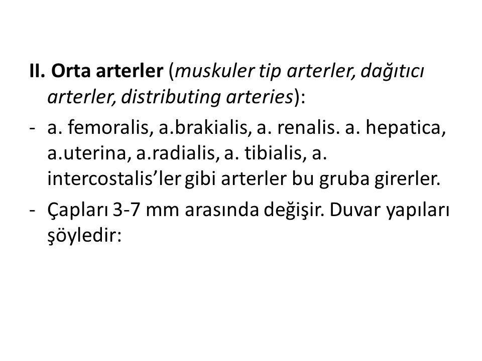 II. Orta arterler (muskuler tip arterler, dağıtıcı arterler, distributing arteries): -a. femoralis, a.brakialis, a. renalis. a. hepatica, a.uterina, a