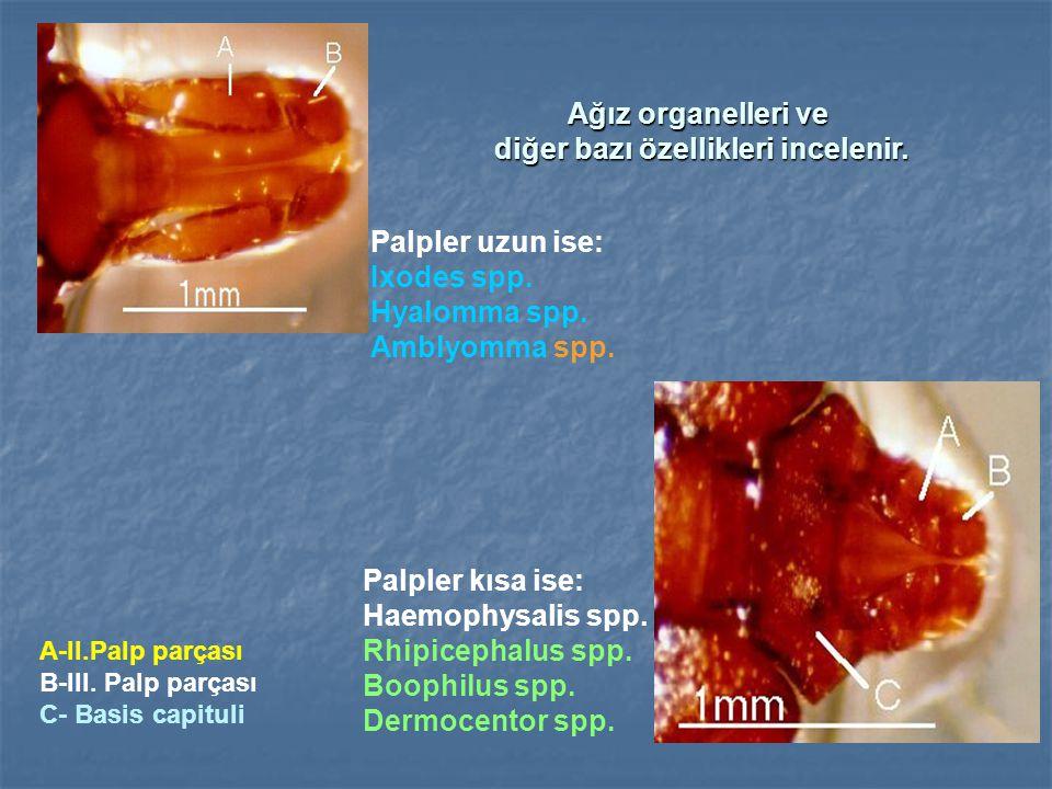 Ağız organelleri ve diğer bazı özellikleri incelenir.