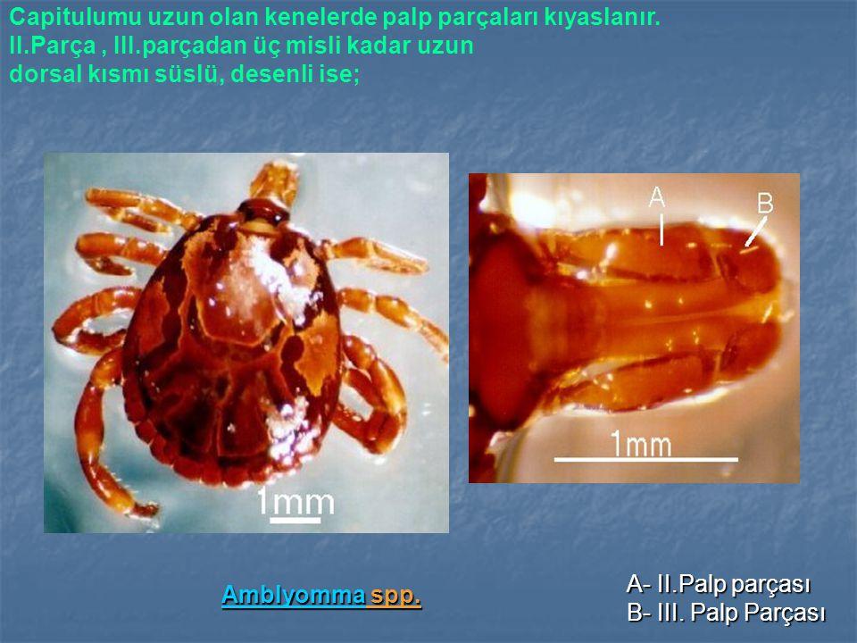 AmblyommaAmblyomma spp.Amblyomma Capitulumu uzun olan kenelerde palp parçaları kıyaslanır.