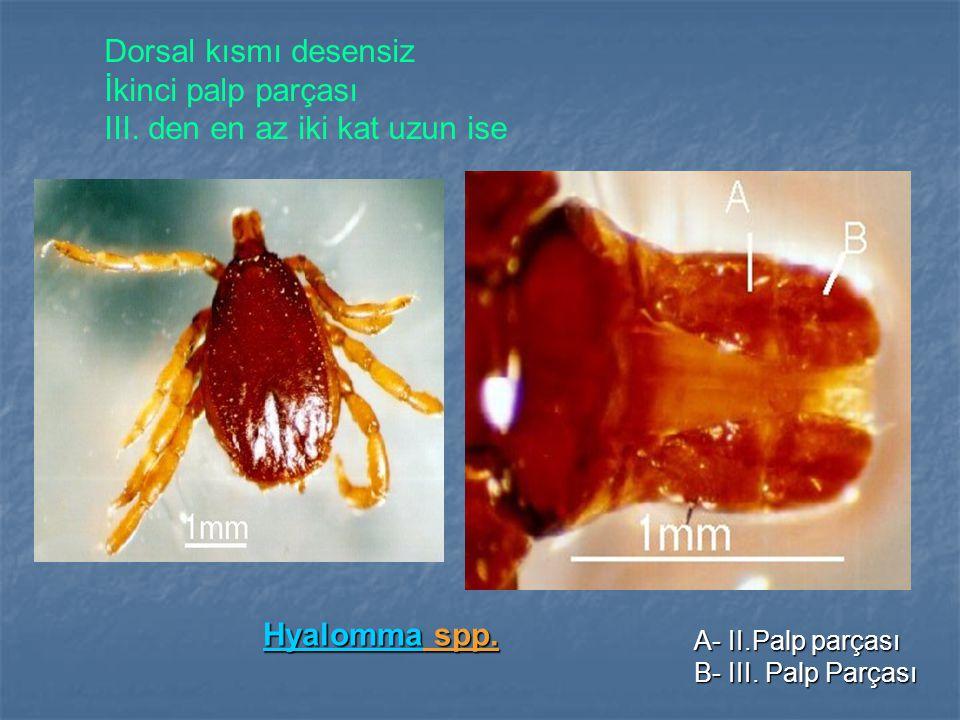 HyalommaHyalomma spp.Hyalomma A- II.Palp parçası B- III.